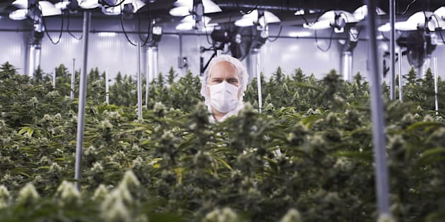 Neil Closner, then-CEO of MedReleaf, at a growing facility in Markham, Ont., Thurs. Jan. 7, 2016. The company was purchased by Aurora Cannabis, which on Tuesday denied it has a deal with Coca-Cola for pot-infused drinks.