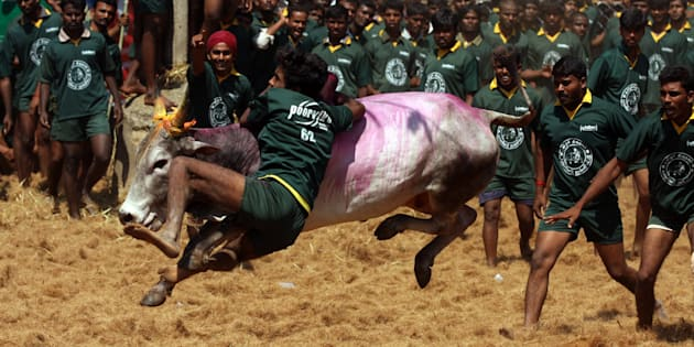 Men try to tame a bull at a traditional bull taming festival called 'Jallikattu' in Palamedu near Madurai, arround 500km south of Chennai on January 16, 2012.