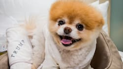 Fans Mourn The Death Of Boo, Pomeranian Known As 'World's Cutest