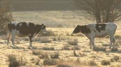 65 bovins meurent pris au piège dans un élevage en flammes en