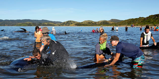 Hundreds of volunteers have flocked to save beached whales in New Zealand.