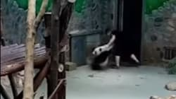 VIDEO: El maltrato a dos pequeños pandas enfurece a muchos en