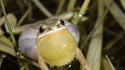 Oui, cette grenouille peut arrêter un projet