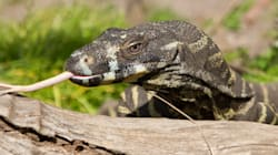 Young Victorian Farmer Ends Up In Hospital After Goanna