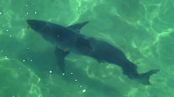 Des requins forcent la fermeture d'une plage au Cape