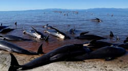 Whale Clean-Up Starts In New Zealand After Mass