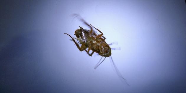 Dead Cockroach, Blattodea