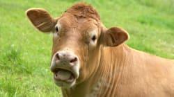 Les rots des vaches polluent moins quand elles mangent du