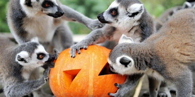 Ring-tailed lemurs eat fruit and nuts inside a special carved pumpkin before Halloween.