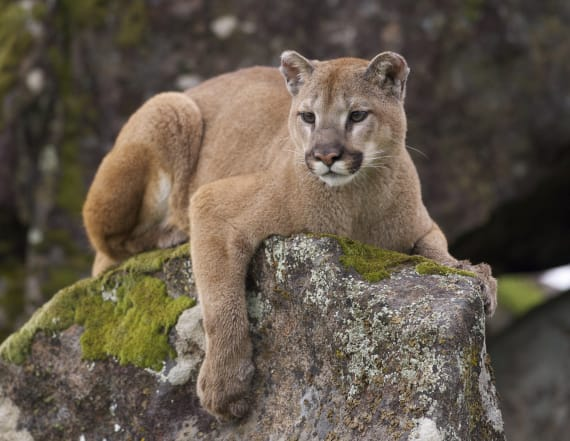 6-year-old injured in suspected mountain lion attack