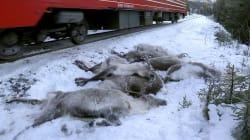 Trenes en Noruega arrollan a más de 100 renos provocando 'un baño de
