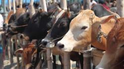 In Jharkhand, 12,000 Cows Already Have Aadhaar-Like