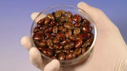 La ricine, un poison violent 12.000 fois plus toxique que le venin du