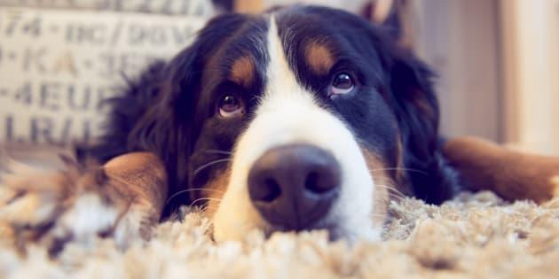 Un chien Bouvier Bernois