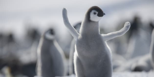 Join this juvenile emperor penguin in taking a moment to pat ourselves on the back.