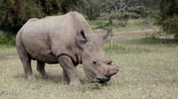 Le dernier rhinocéros blanc mâle du Nord est