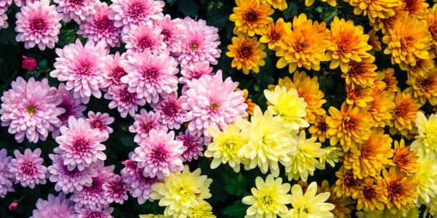Comment les chrysanthèmes sont devenus symboles de deuil en France (alors qu'ailleurs ils sont joyeux)
