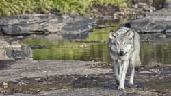 Canada Must Stop Poisoning Predators, Pets And Other