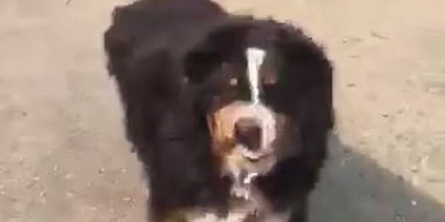 Izzy the Bernese Mountain Dog was thought to have died in the California fires.