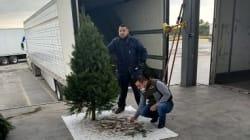 Aduana de Nuevo Laredo regresa árboles navideños con plaga a