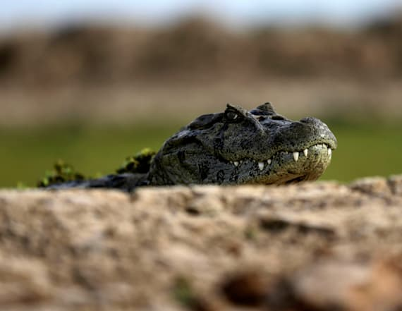 Researchers find alligators are eating sharks