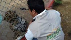 Gracias a Facebook, Profepa halla un jaguar que paseaba en las calles de