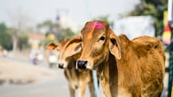 In A Move To Protect Cows, Government Is Now Considering Setting Up Cow