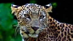 Un enfant dévoré par un léopard dans un parc national