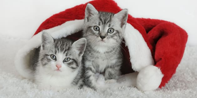 Two white-gray kitten looking out of Santa hat.