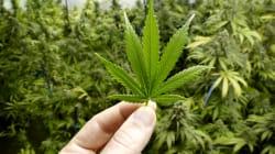 La Camera adotta una legge inutile, ma non dannosa, sulla cannabis