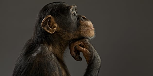 Chimpanzee pondering his life like the Thinker, Pan troglodytes