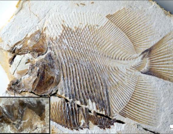 Piranha-like fish menaced Jurassic seas