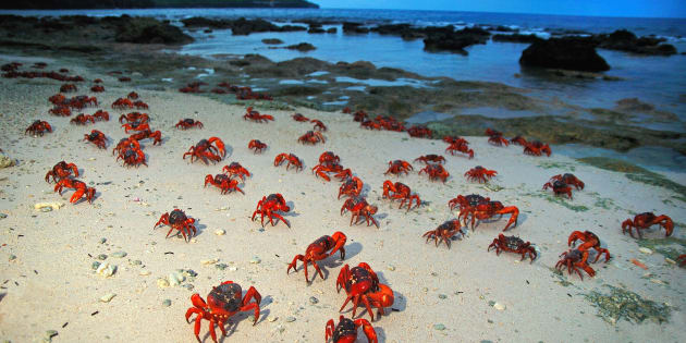Red crabs make their way to the shore.
