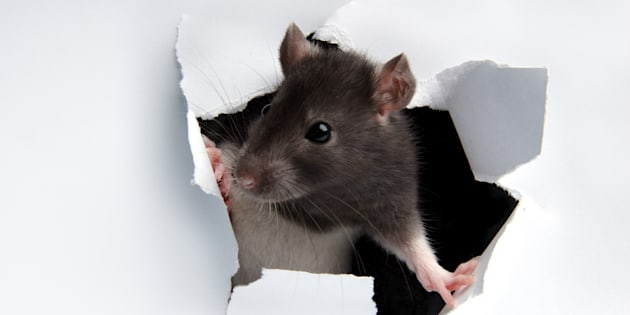 Une adolescente handicapée attaquée par des rats pendant son sommeil — Roubaix