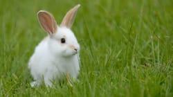 Les lapins envahissent