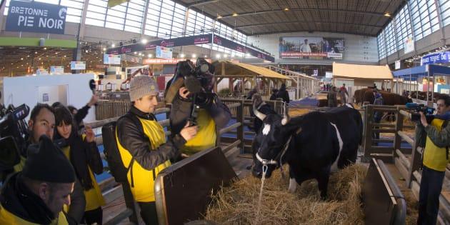 Des journalistes filment la vache mascotte de l'édition 2017 du Salon de l'Agriculture, Fine, le 24 février 2017, à Paris. Le salon se déroule du 25 février au 5 mars.