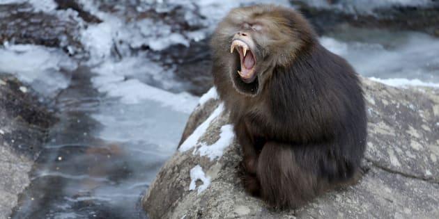 Et si les macaques pouvaient vous demander en mariage?