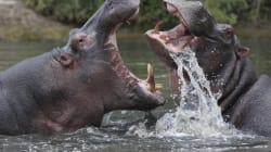 Sans ces deux héros hippopotames, ce gnou aurait été dévoré par un