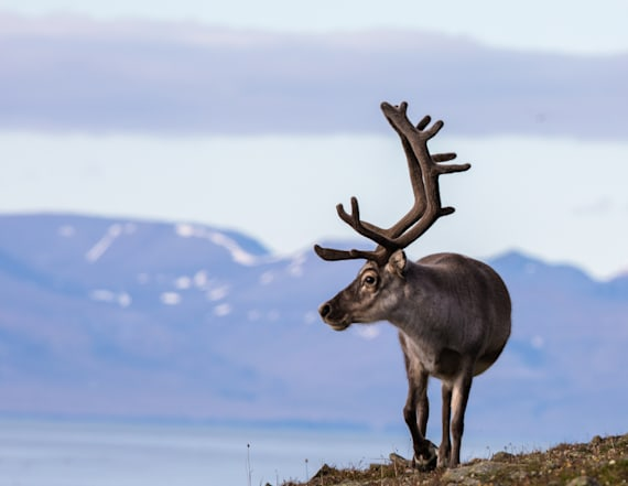 Report: Reindeer found dead due to climate change