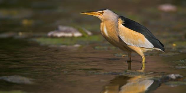 Le petit blongios, considéré comme menacé en vertu de la Loi sur les espèces en péril au Canada, se retrouve sur l'île de Grâce.