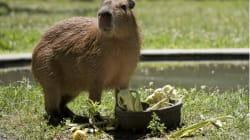 Toronto's 'Capybabies' Named After Canadian Rock