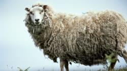 Sheepish Sheep Gets Head Stuck Inside Orange Traffic