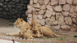 Pregnant Lioness Refuses To Eat Chicken Served After UP Slaughterhouse
