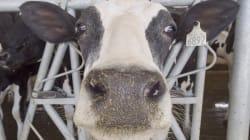 Devrait-on s'inquiéter de la qualité du lait