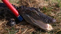 Disney World se savait infesté d'alligators avant la mort d'un