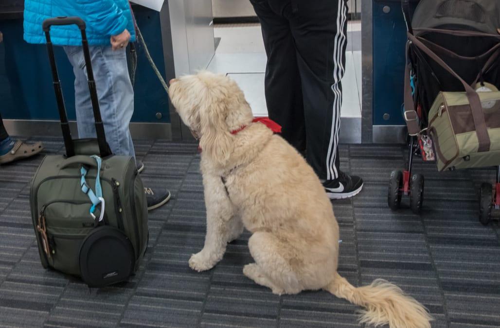 Image of: Delta Southwest Airlines Cracks Down On Emotional Support Animals Wbay Southwest Airlines Cracks Down On Emotional Support Animals Aol News