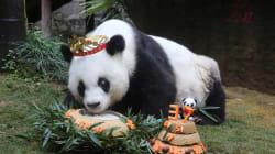Le plus vieux panda du monde est