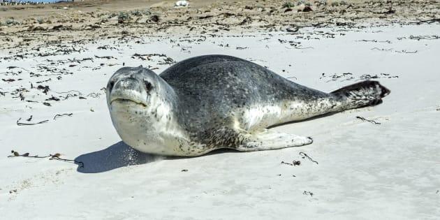Les selles du léopard de mer abritaient une clé USB exploitable (photo d'un léopard de mer dans les îles Malouines).