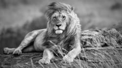 Alert Over 3 Missing Lions, While Another 3 Poisoned In Suspected Muthi