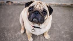 Dog Named Trump Kidnapped In Delhi, Police Hunt For